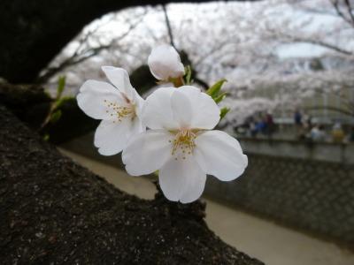 お花見8.jpg
