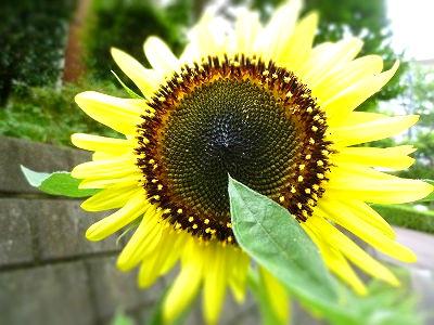 sunflower1-tiltshift.jpg